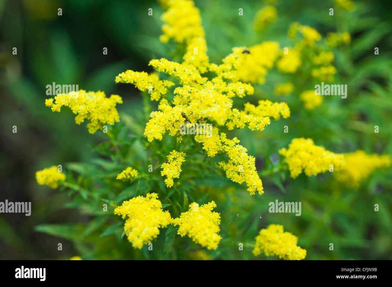 Yellow flowers of Little Lemon Goldenrod, Solidago v Dansolitlem, Asteraceae Stock Photo