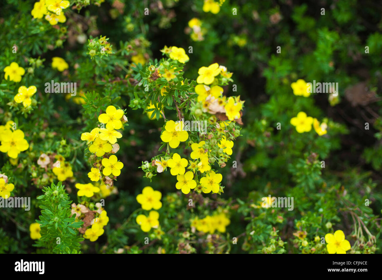 Small Yellow Flowers Of Shrubby Cinquefoil Stock Photos Small