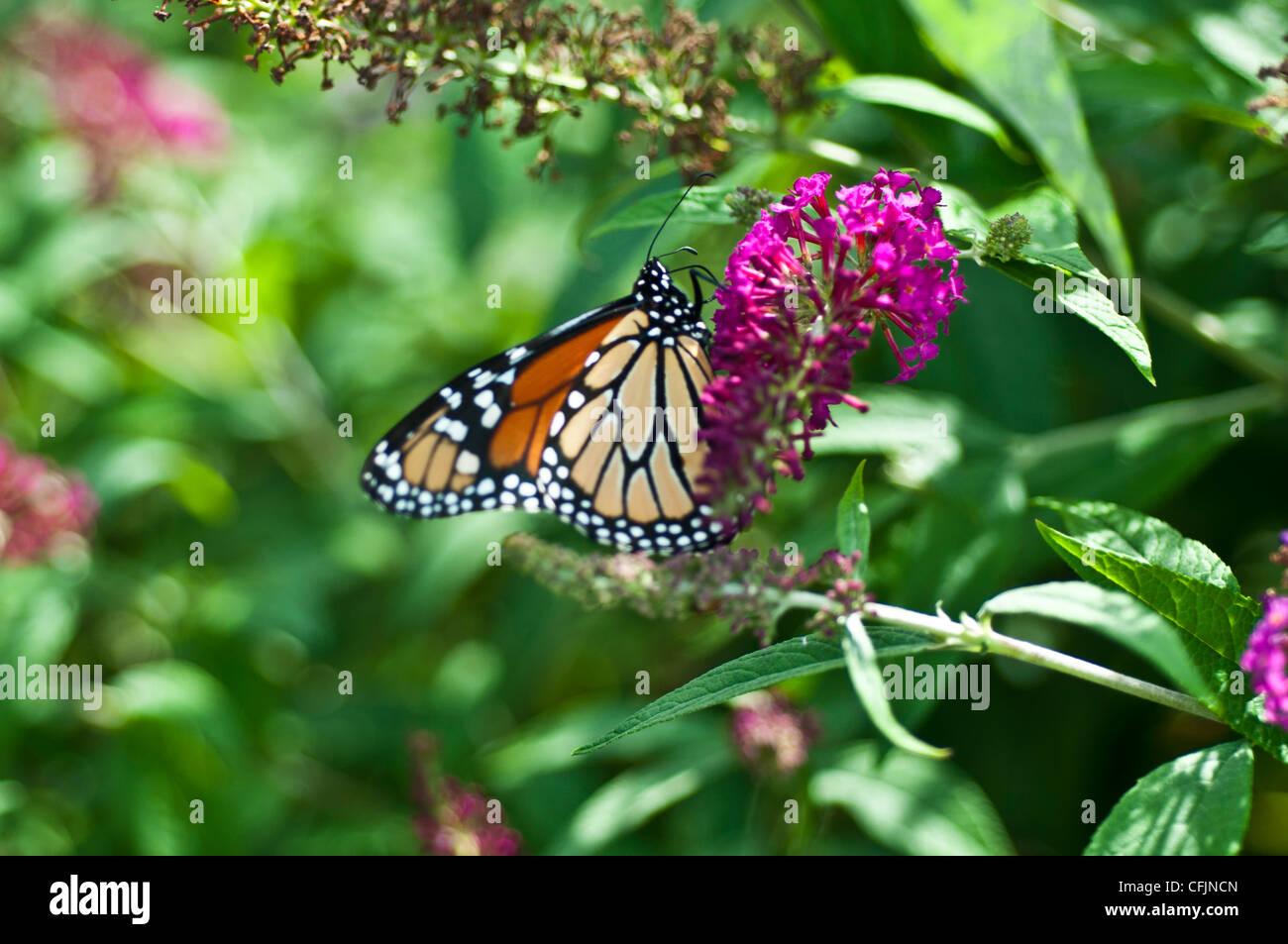 Monarch butterfly, Danaus plexippus on Purple violet flowers Butterfly Bush, Buddleja or Buddleia var Miss Ruby, - Stock Image