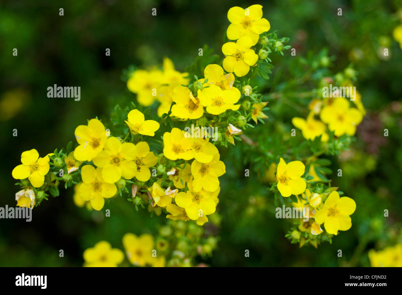 Small yellow flowers of shrubby cinquefoil stock photos small small yellow flowers of shrubby cinquefoil potentila fruticosa v yellow gem rosaceae stock mightylinksfo