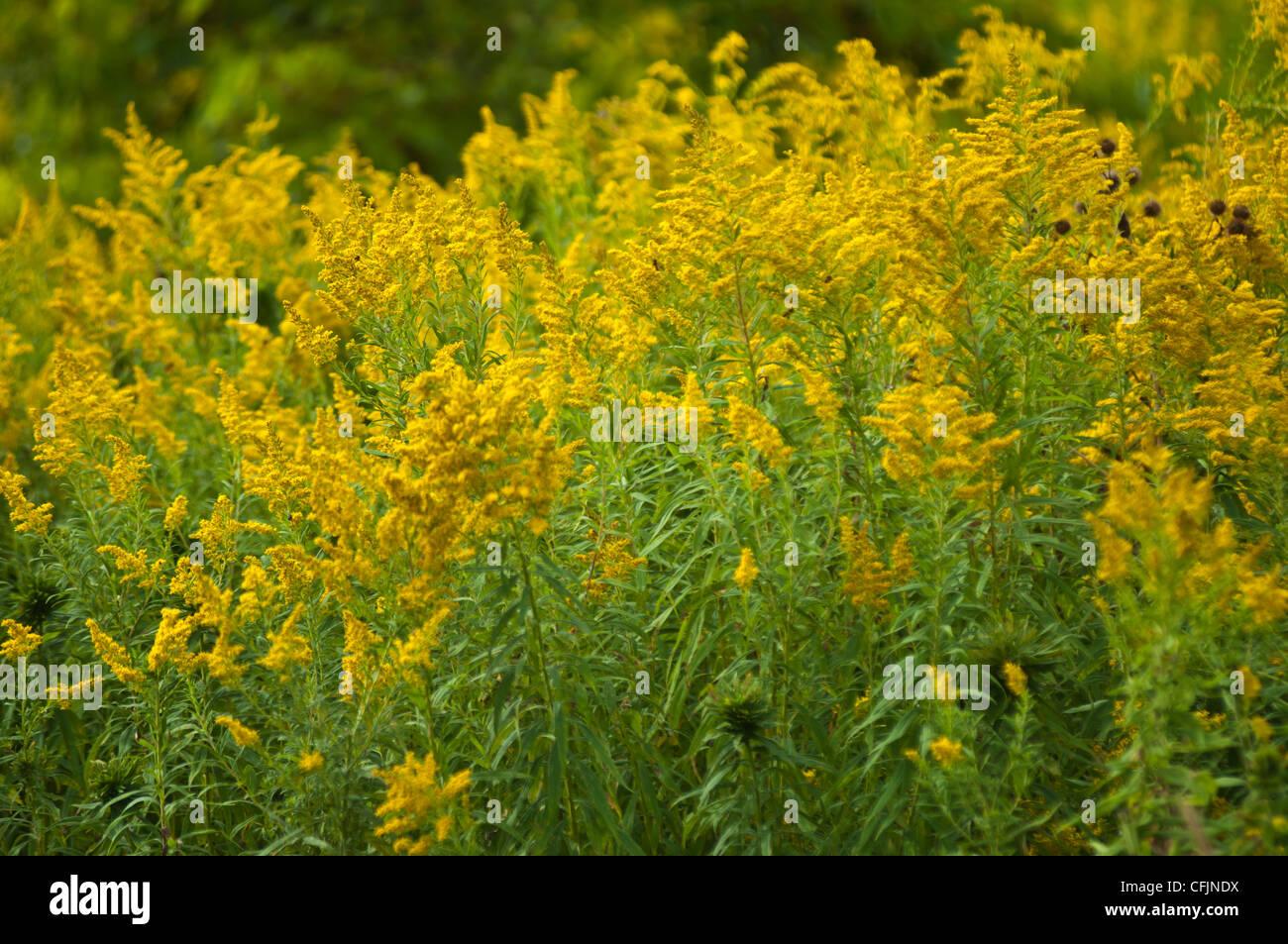 Many Yellow flowers of Solidago, Goldenrod - Stock Image