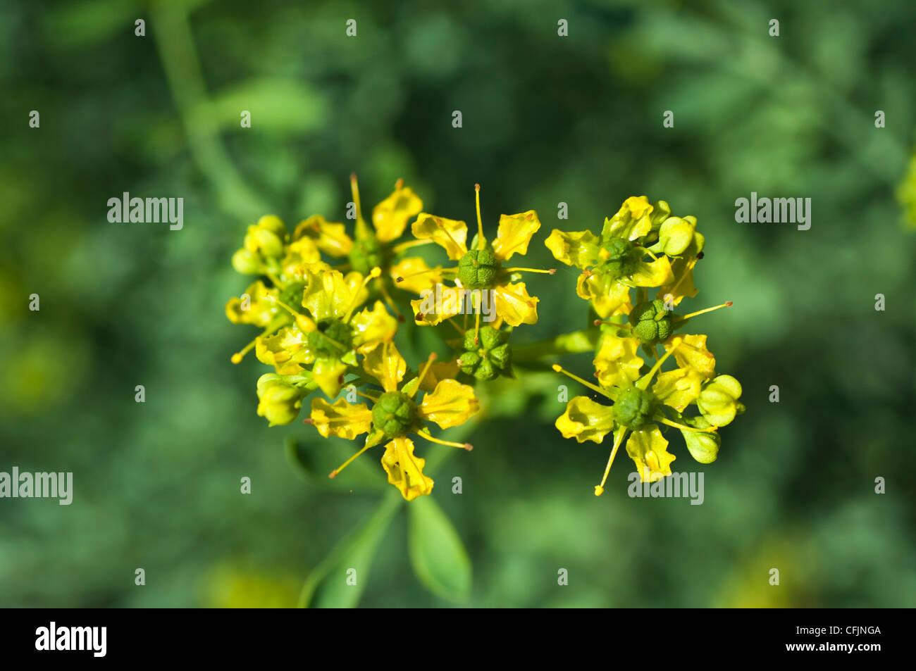 Small yellow flowers of Common Rue, Ruta graveolens, Rutaceae - Stock Image