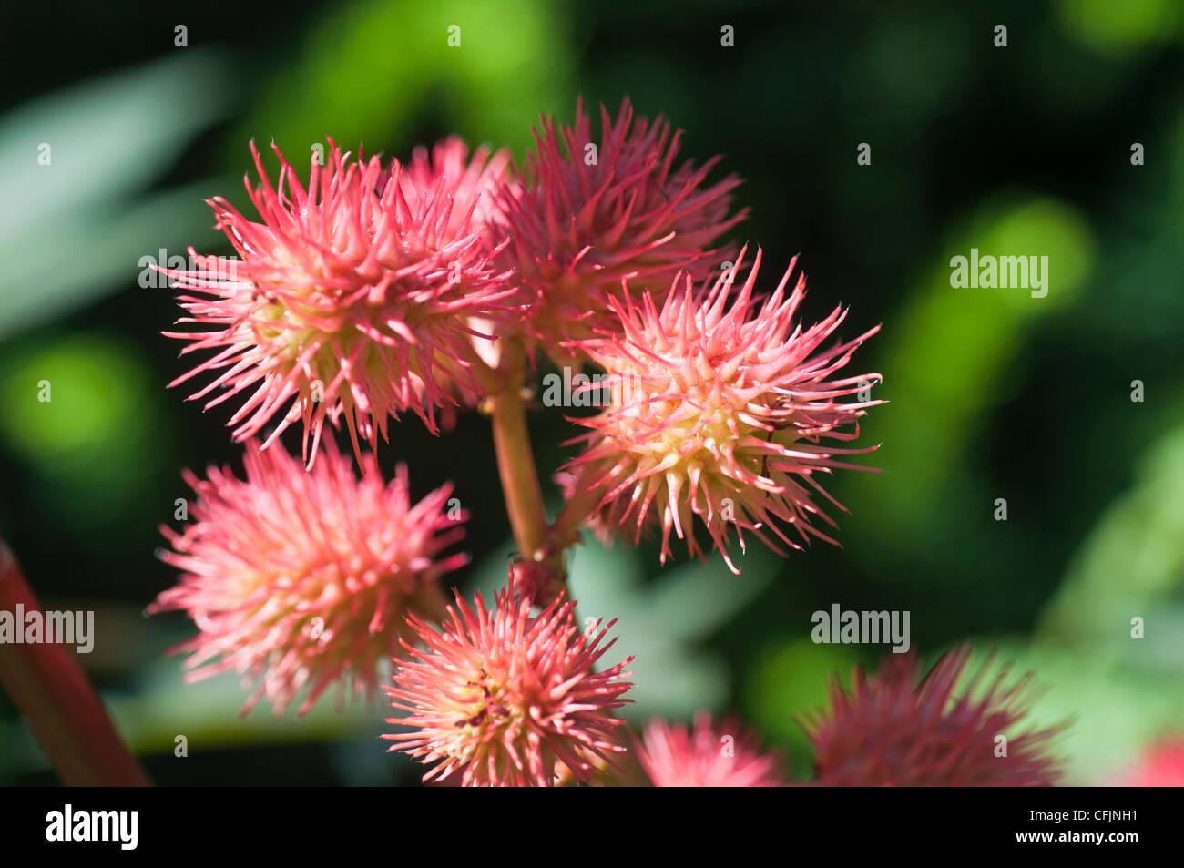 Red flowers of Castor Bean, Ricinus Communis, Euphorbiaceae - Stock Image