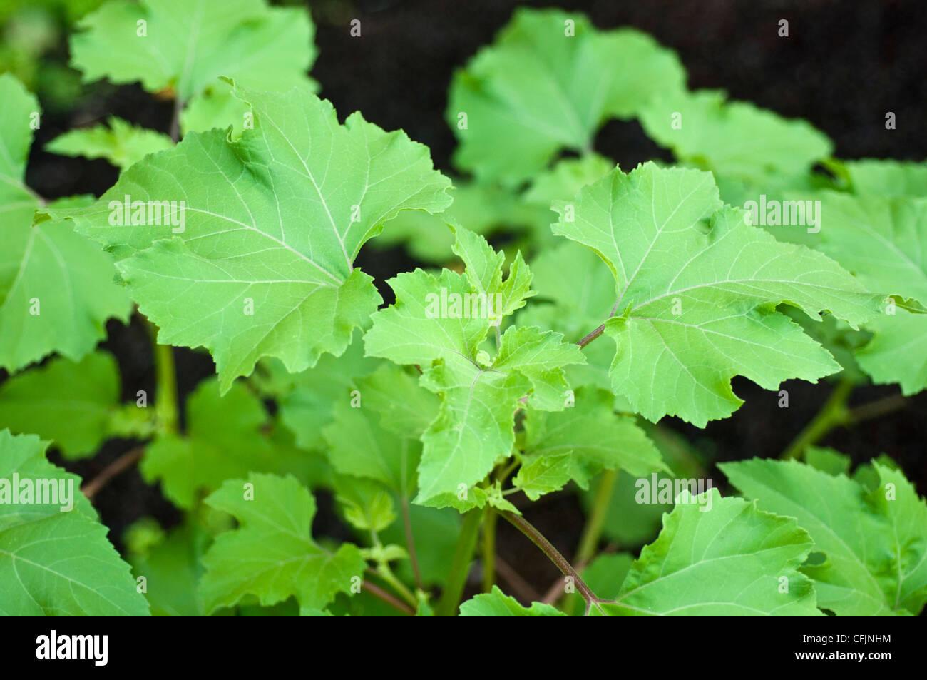 Leaves of toxic plant Cocklebur, Xanthium strumarium - Stock Image