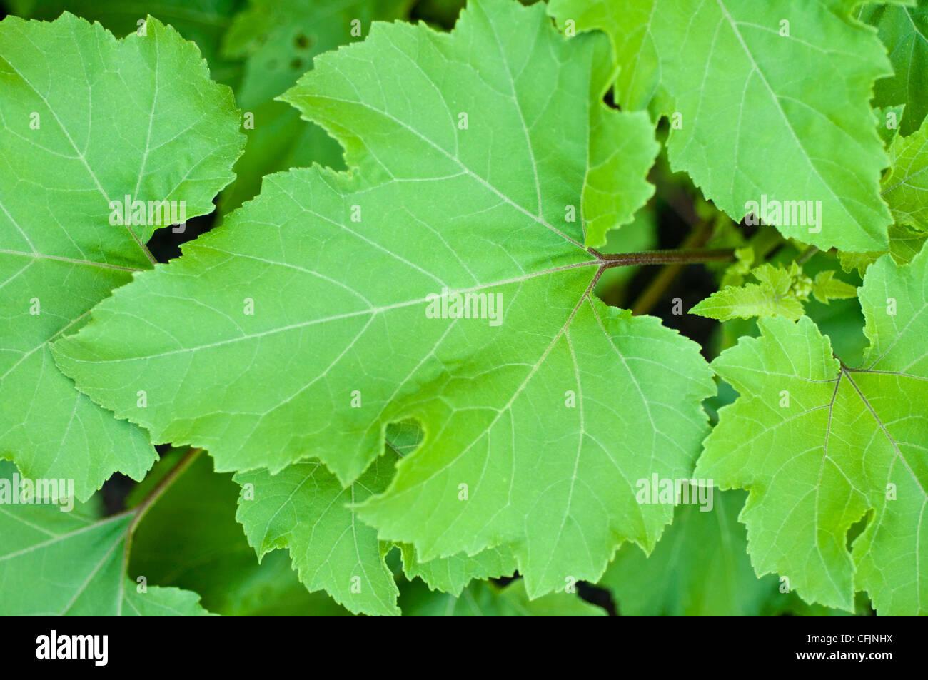 Leaves of toxic plant Cocklebur, Xanthium strumarium, - Stock Image
