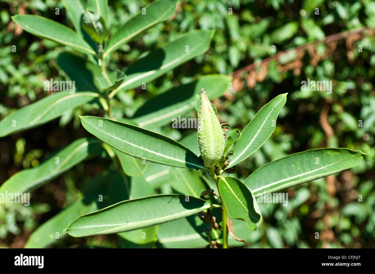 Toxic Milkweed plant, Asclepias spp, Asclepiadaceae - Stock Image