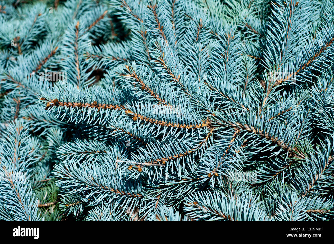Blue conifers of Colorado Spruce, Picea Pungens var Procumbens, Pinaceae, North America - Stock Image