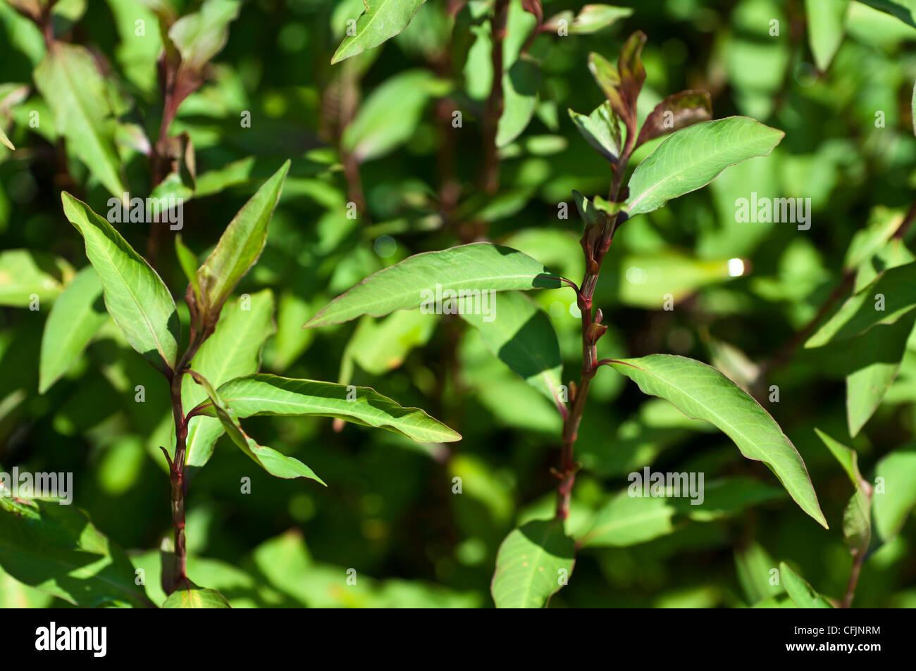 Green plant of Ramie, Boehmeria Nivea, Urticaceae, fiber plant - Stock Image