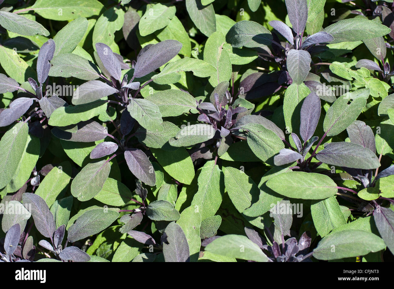 Purple sage, Salvia officinalis Purpurascens, Lamiaceae - Stock Image