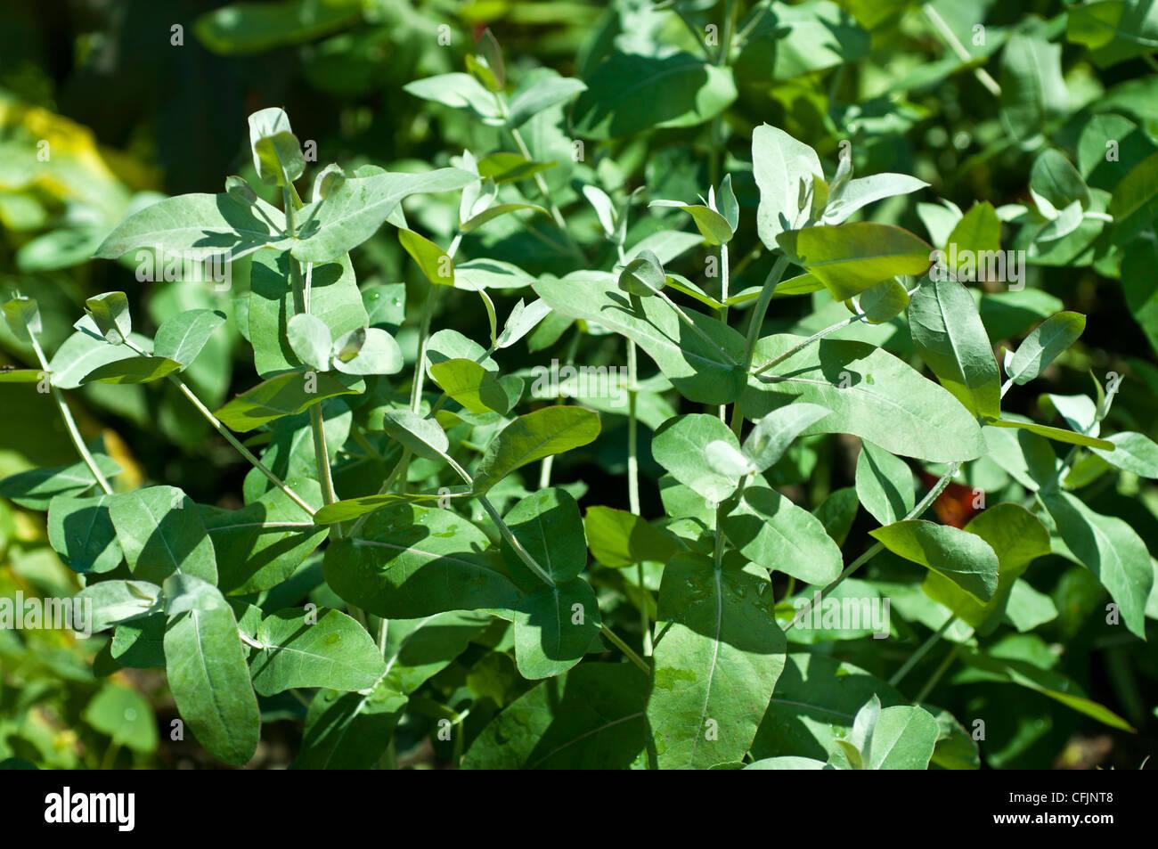 Tasmanian Blue Gum, Eucalyptus Globulus, Myrtaceae - Stock Image