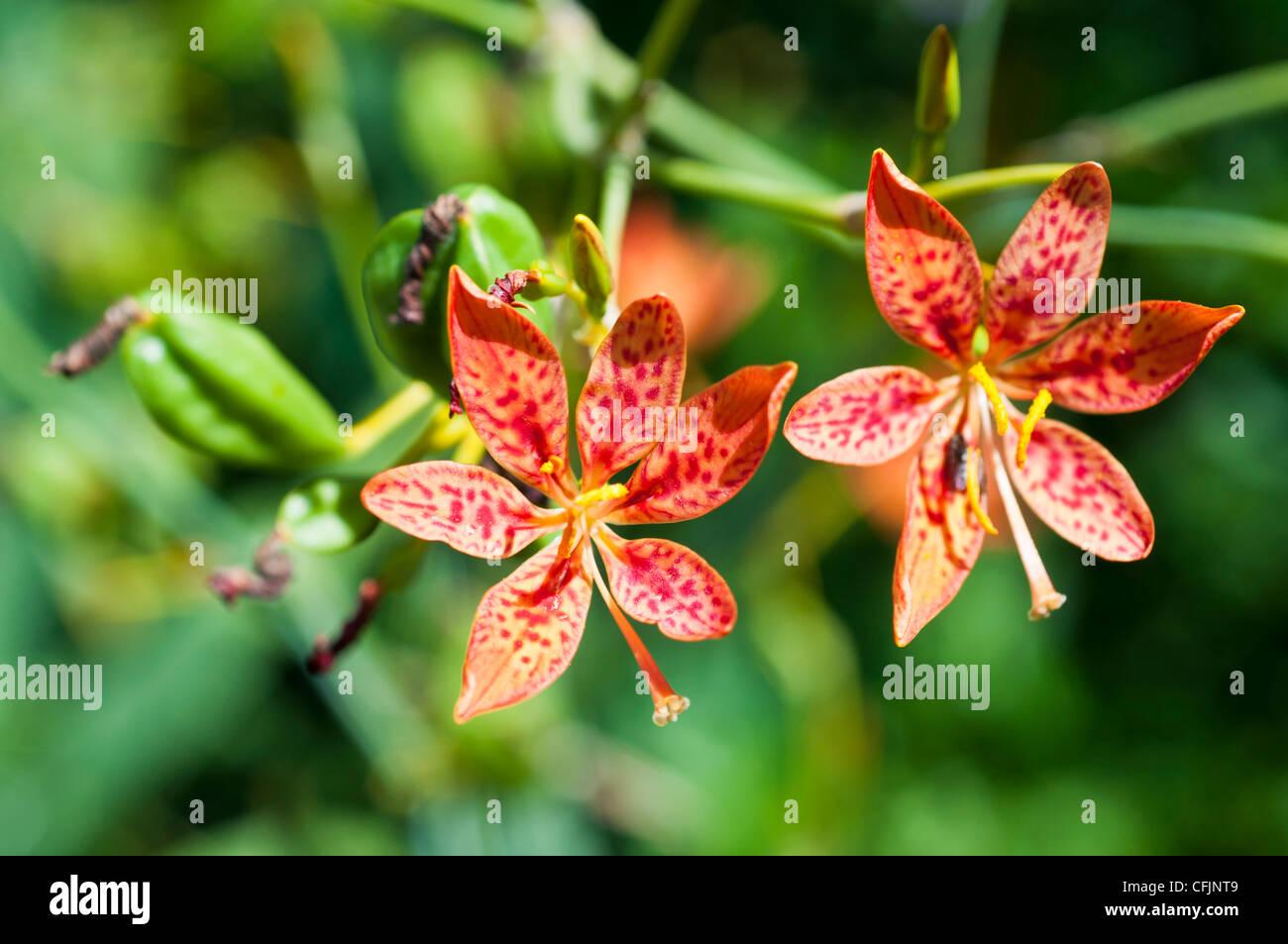 Blackberry Lilly, Belamcanda chinensis, Iridaceae, Chinese medicinal plant - Stock Image