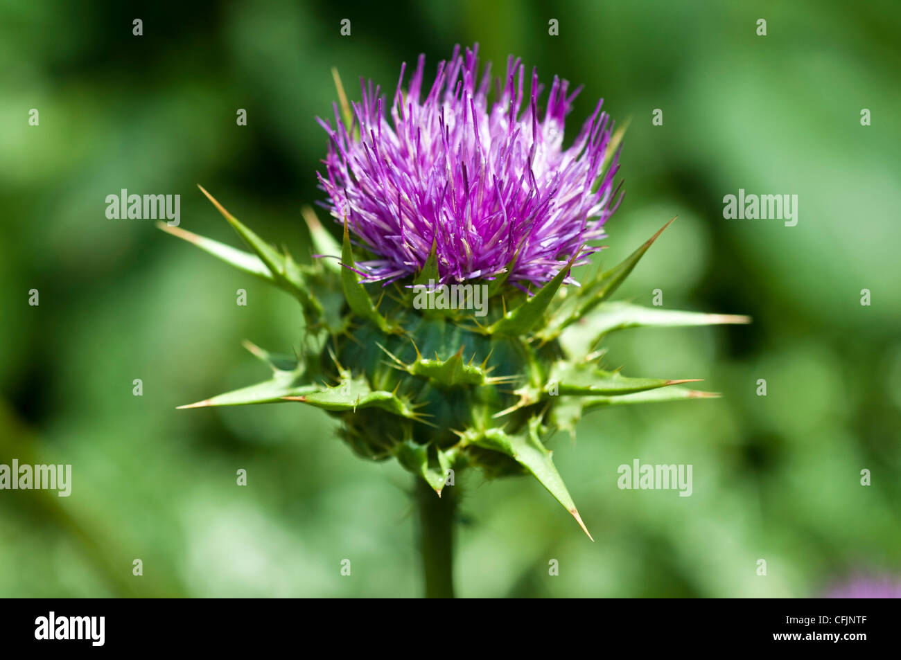 Milk Thistle Silybum marianum, Asteraceae, medicinal plant contain sylimarin for  cure of liver damage - Stock Image