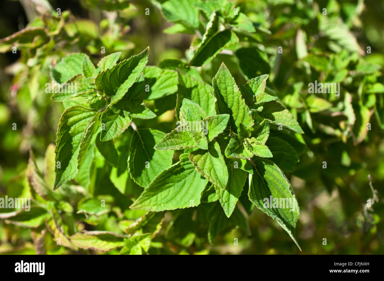 Honeydew sage, Salvia Honeydev - Stock Image