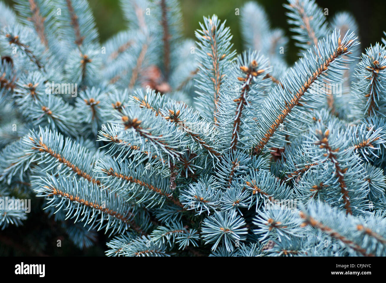 Silver blue conifers of Colorado Spruce, Picea Pungens f Glauca var Montgomery Stock Photo