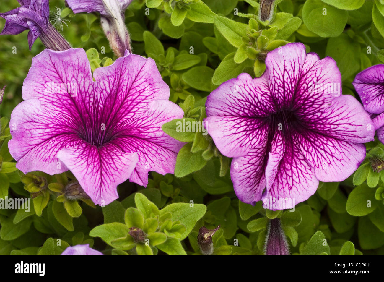 Pink violet flower close up Petunia Daddy Orchid - Stock Image