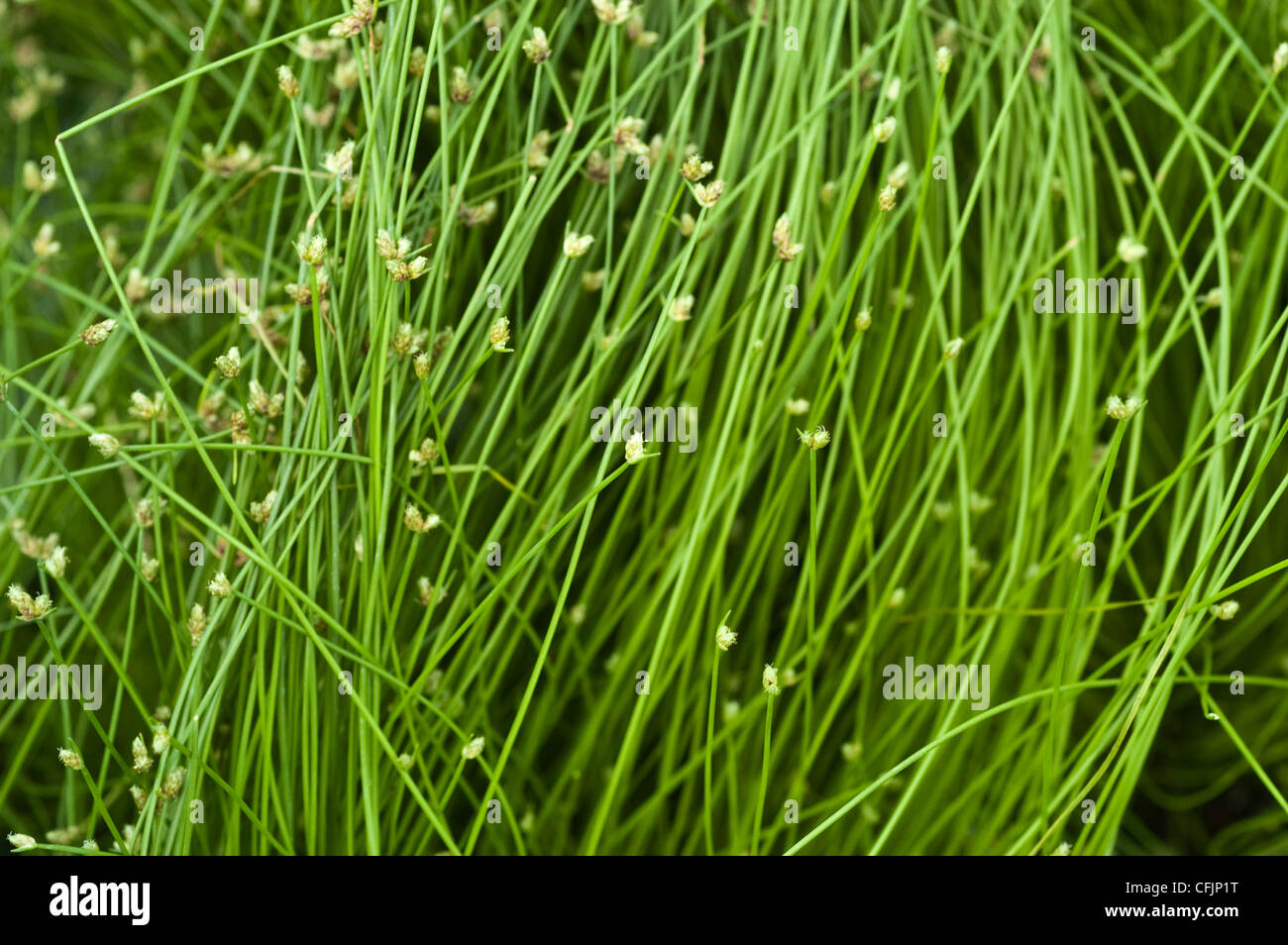 Fiber optic grass, Isolepis Cernua var Live wire - Stock Image