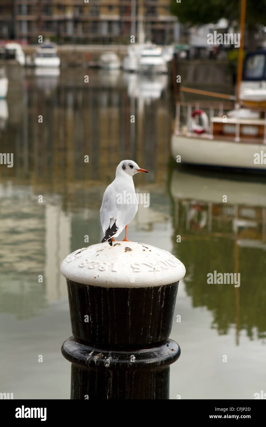 Seagull at St Katharine's Dock in East London - Stock Image