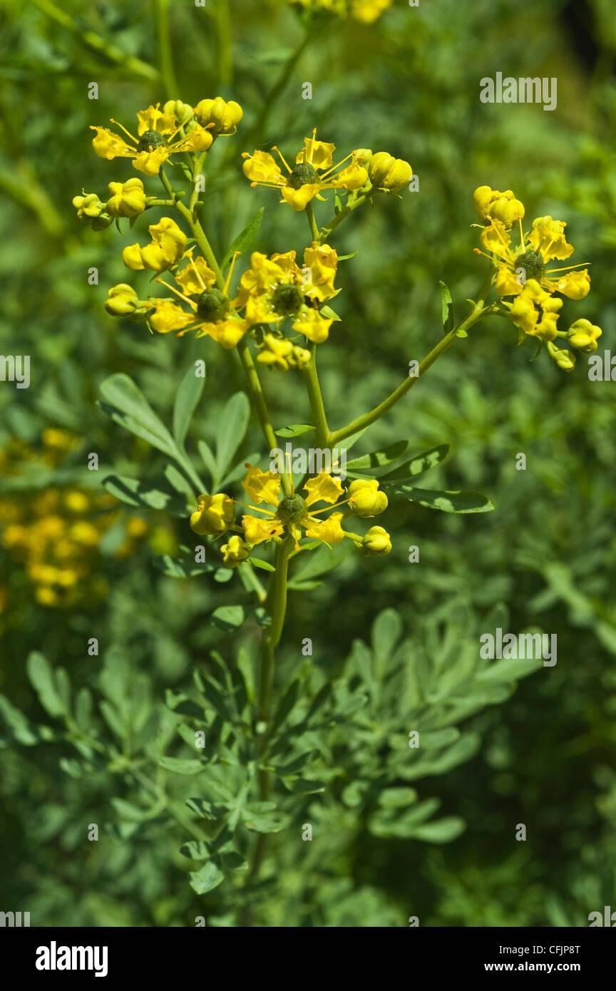 Yellow flowers of Rue, Ruta Graveolens - Stock Image
