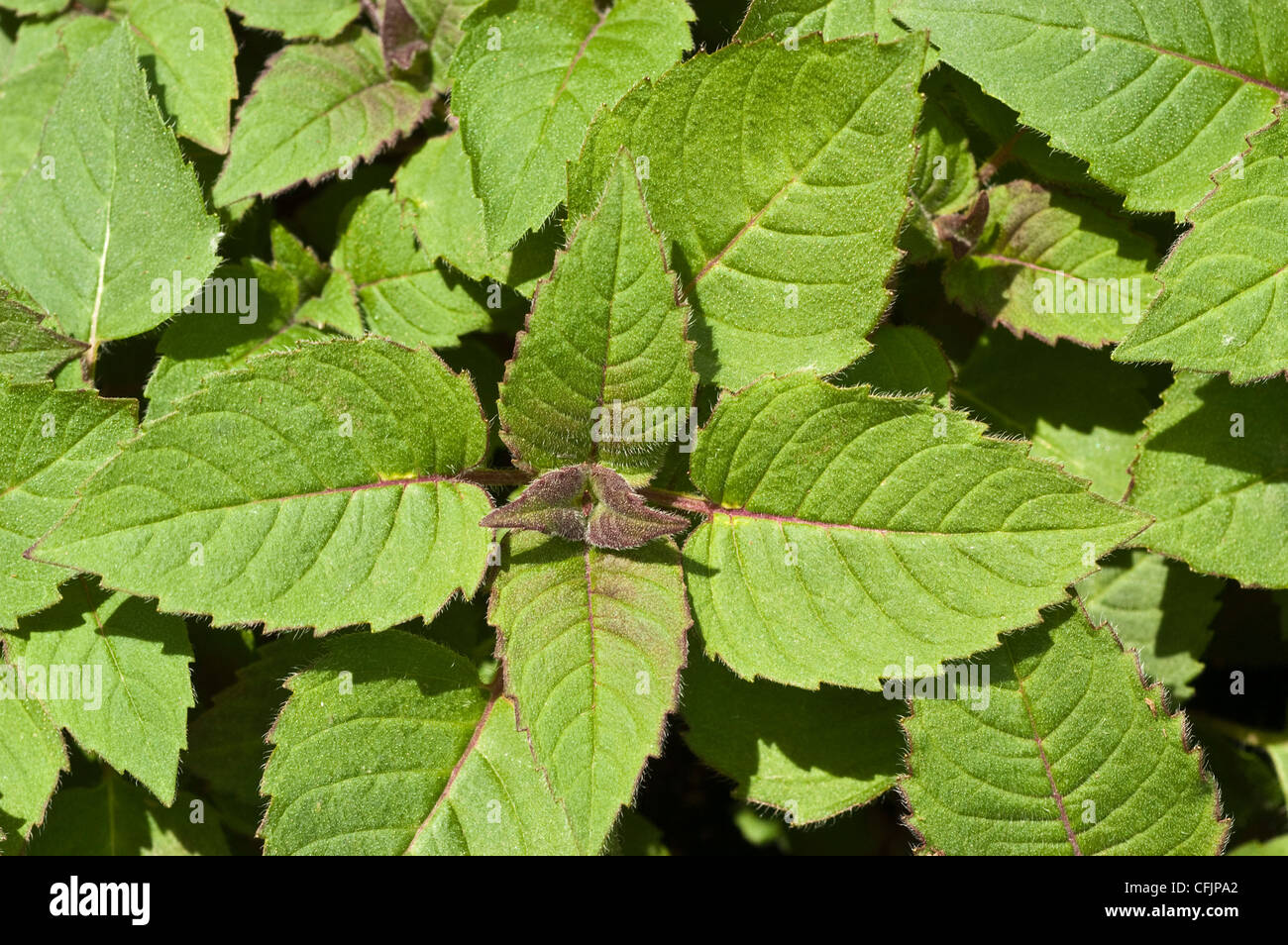 Green, young foliage, leaves of Bee Balm, Monarda didyma Stock Photo