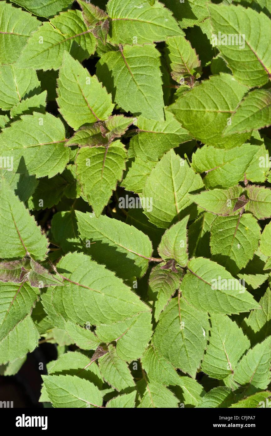 Green, young foliage, leaves of Bee Balm, Monarda didyma - Stock Image