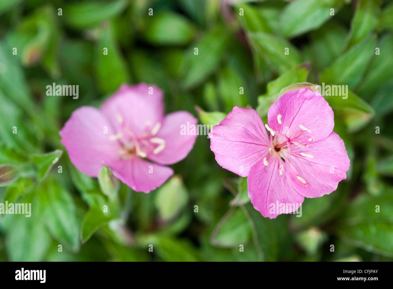 Pink magenta flowers of Oenothera Glowing Magenta Stock Photo