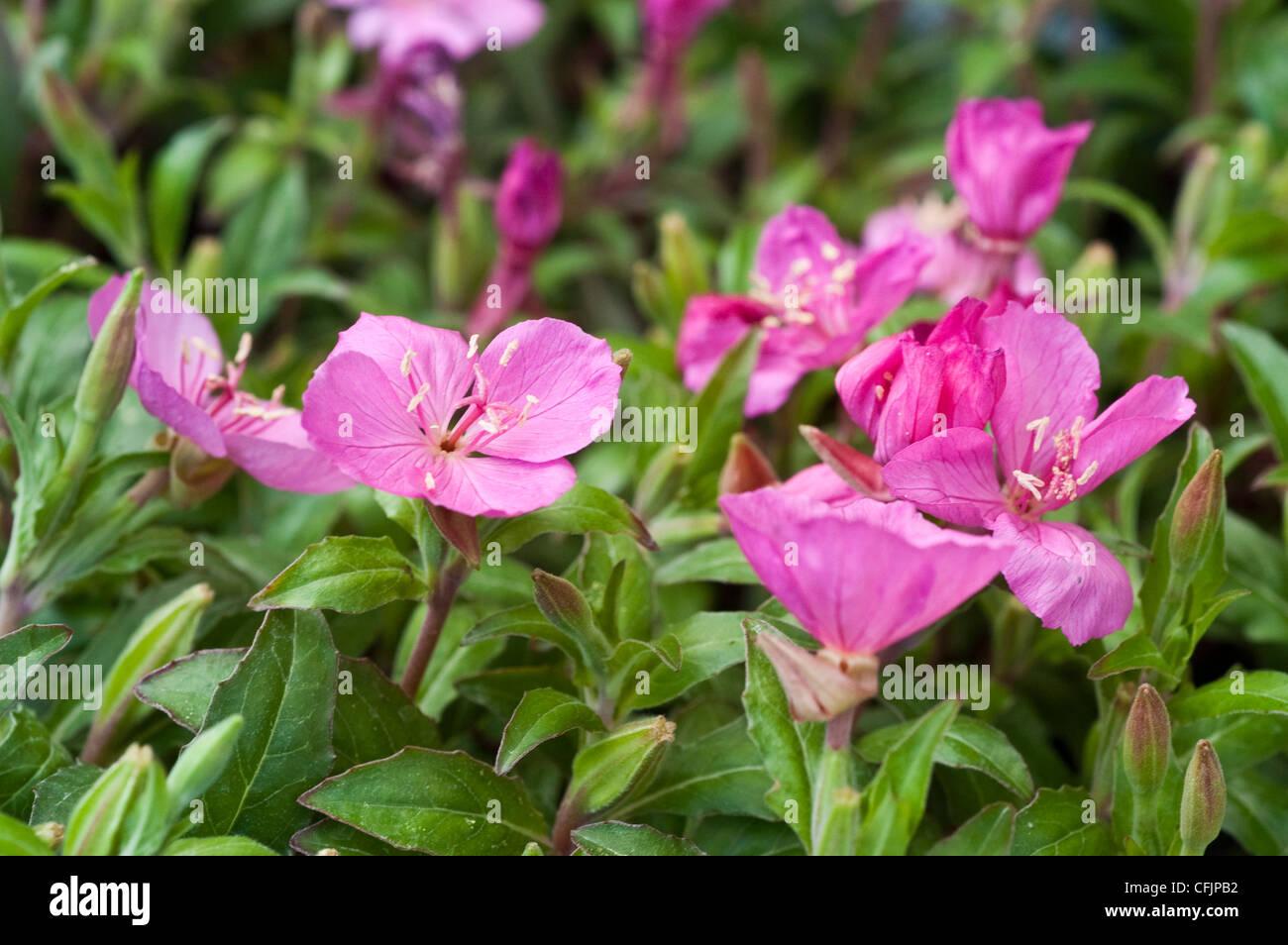 Pink magenta flowers of Oenothera Glowing Magenta - Stock Image