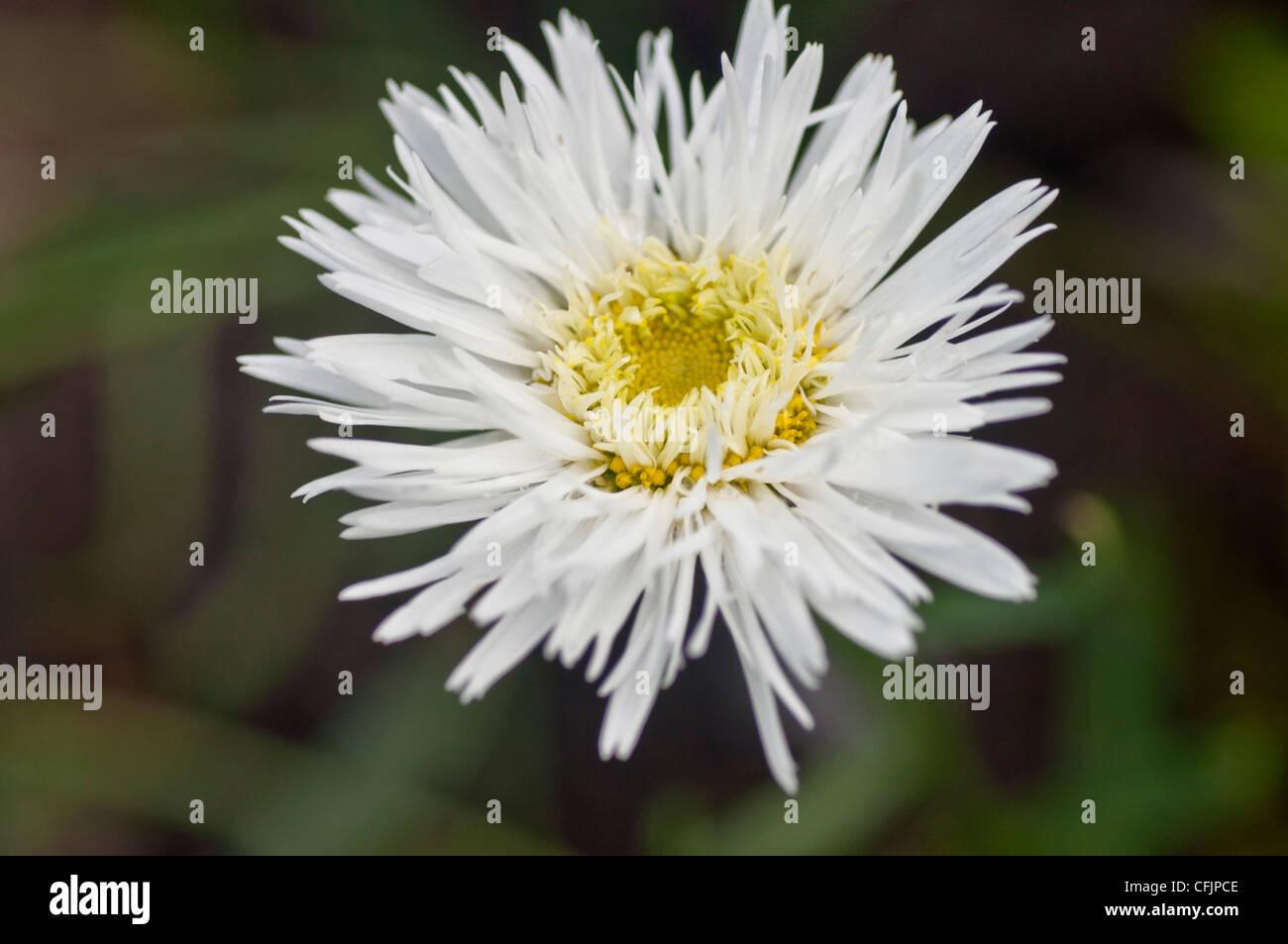 White flower of Shasta Daisy, Leucanthemum v Sante, Asteraceae Stock Photo