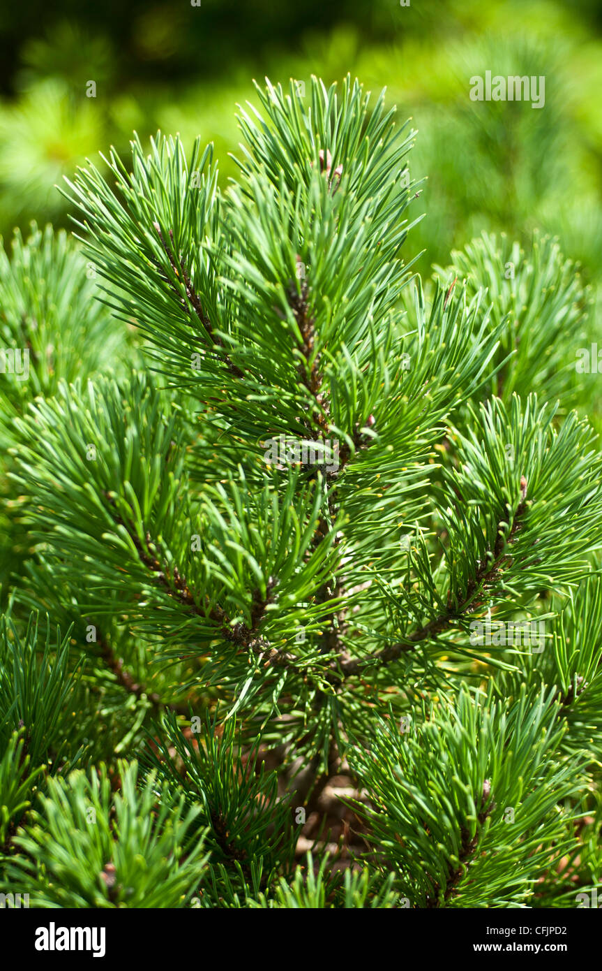 Green conifers of Dwarf Golden Mugo Pine, Pinus mugo, Carstens Wintergold - Stock Image