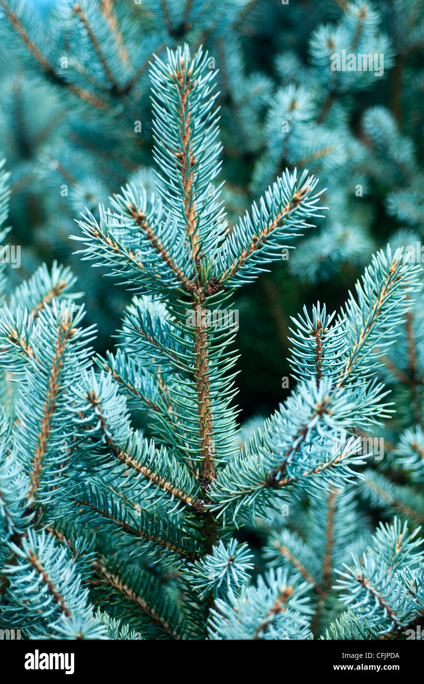 Blue conifers of Coloado Blue Spruce, Picea Pungens v Corbet,  Pinaceae - Stock Image