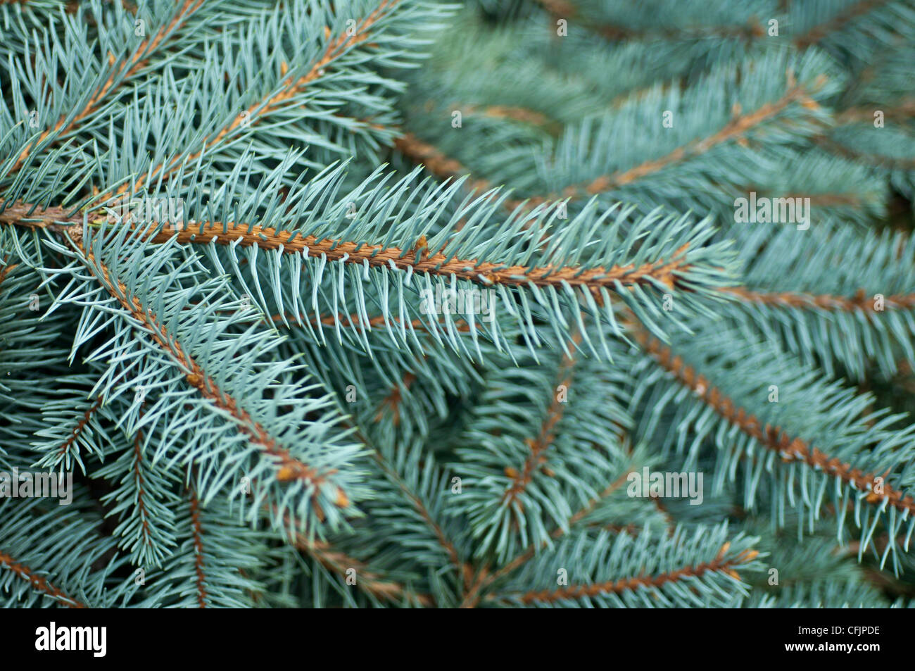 Blue conifers of Coloado Blue Spruce, Picea Pungens v Procumbens  Pinaceae - Stock Image