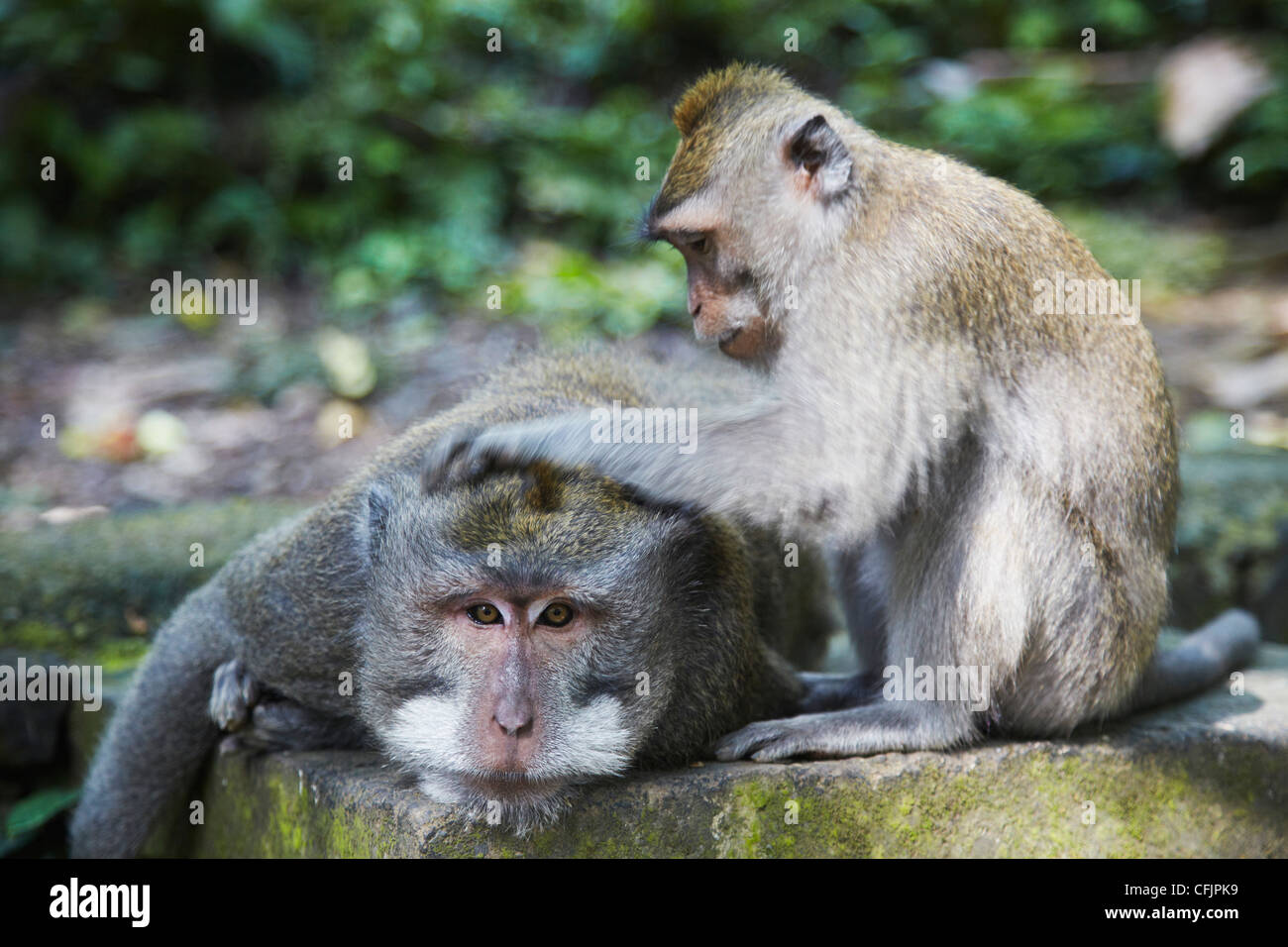Crab-eating macaque monkeys (Macaca fascicularis) in Monkey Forest, Ubud, Bali, Indonesia, Southeast Asia, Asia - Stock Image