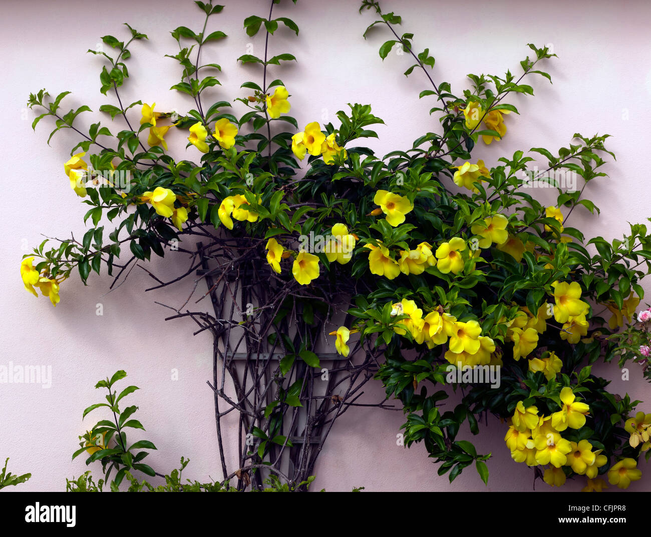 Golden Trumpet Vine Yellow Allamanda Growing On The Side Of A
