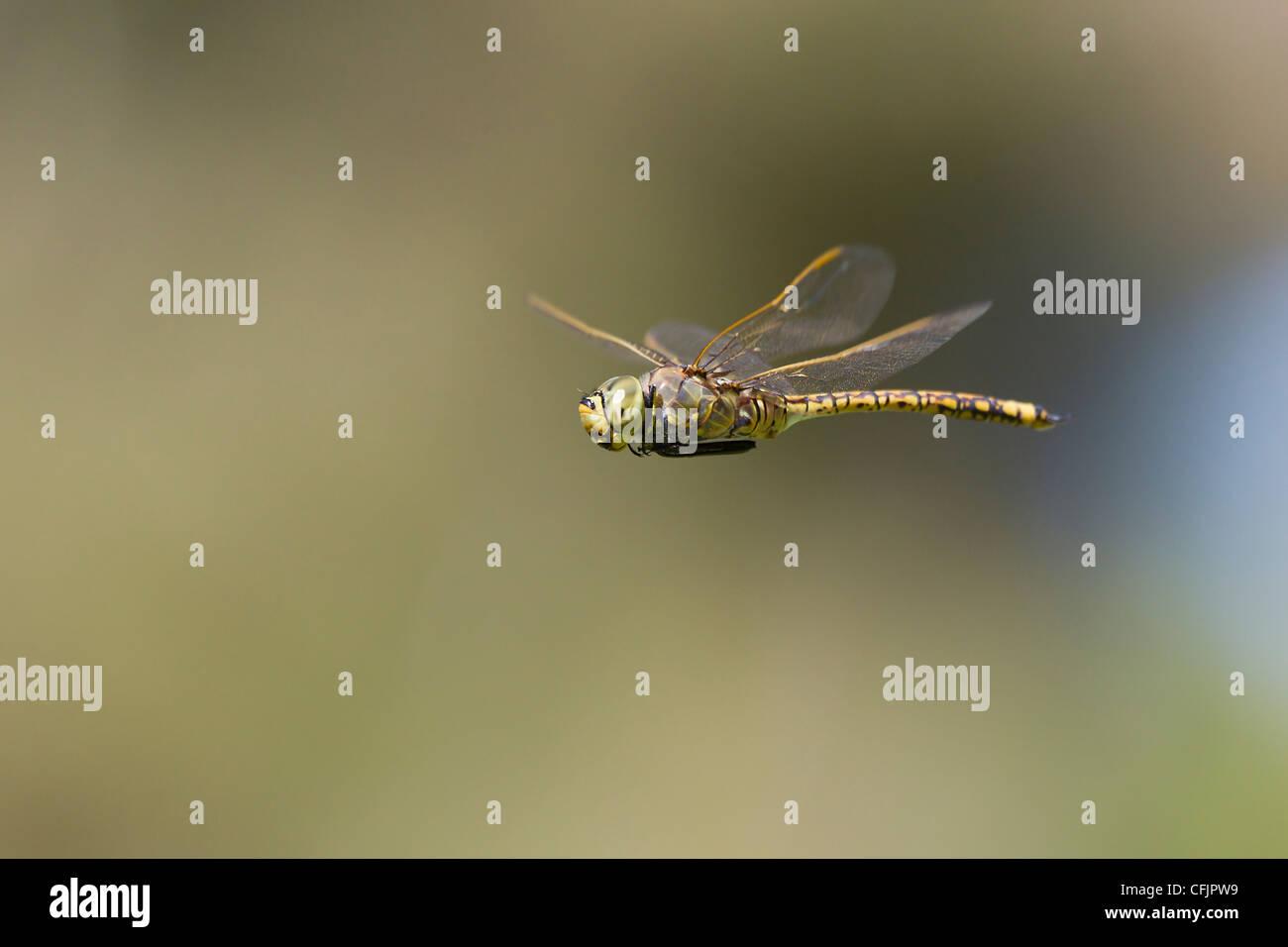 Australian Dragonfly Invertebrate Invertebrates - Stock Image