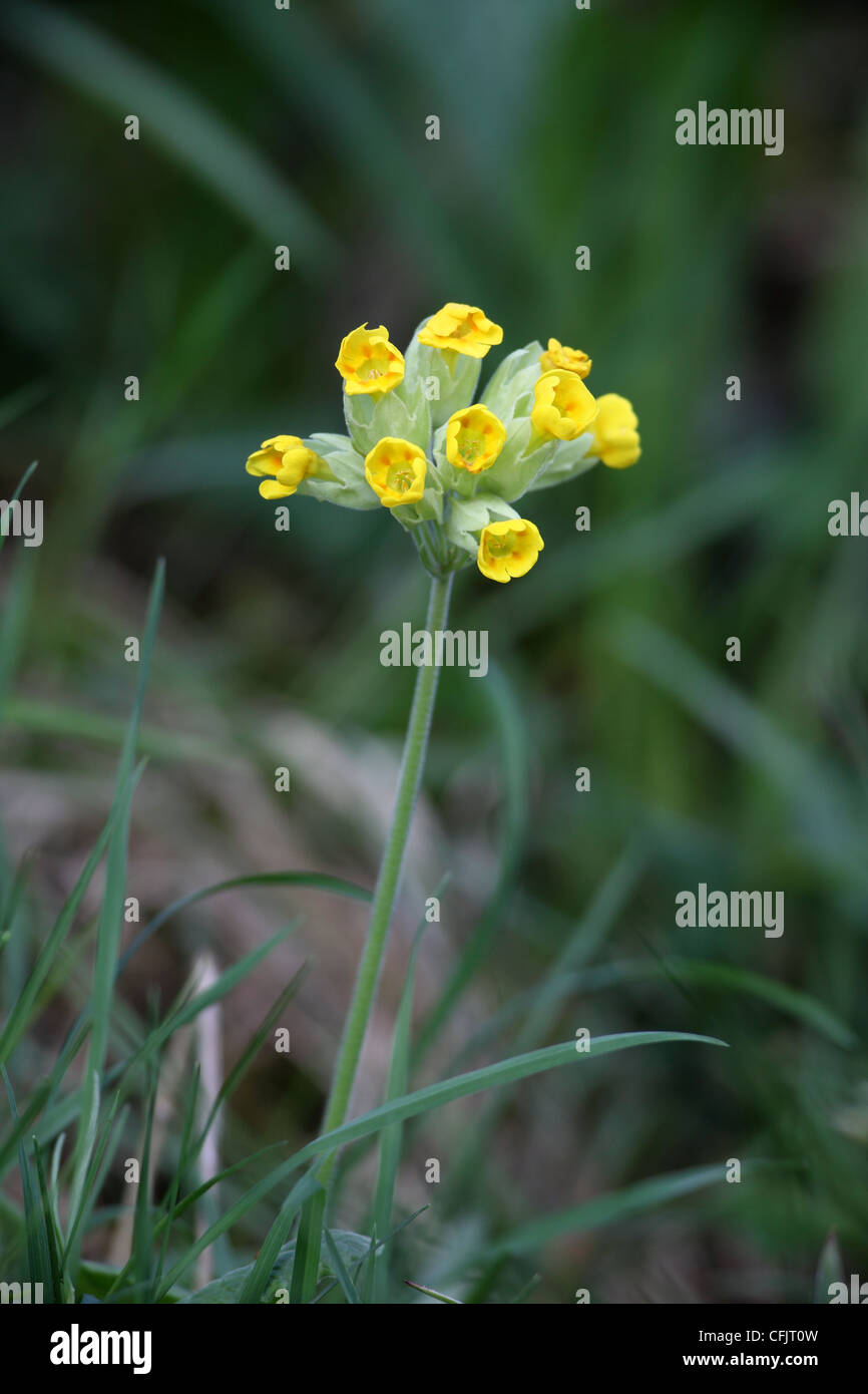 Cowslip Primula veris Flower Upper Teesdale County Durham UK Stock Photo