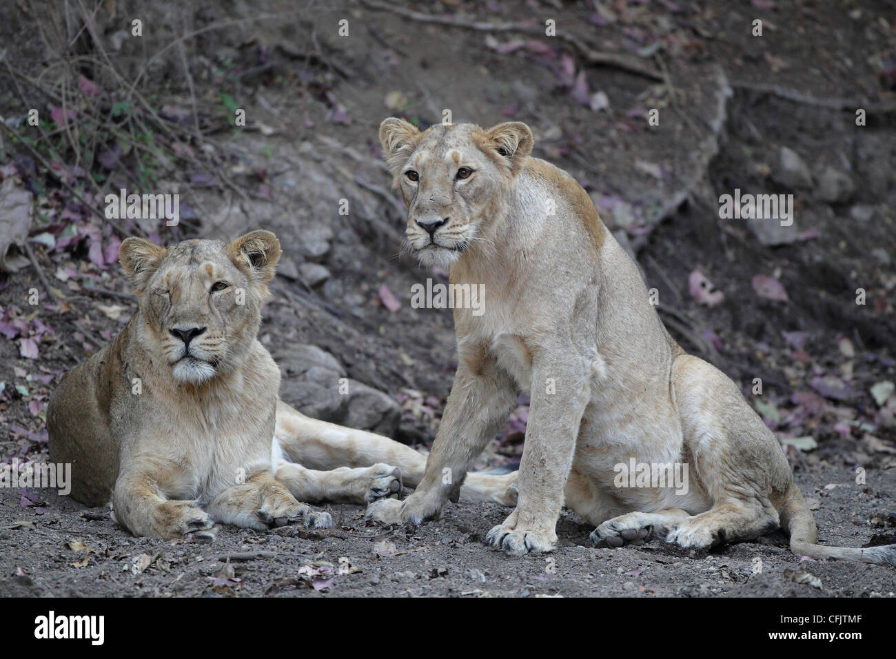 Two female asiatic lions at Gir National park - Stock Image