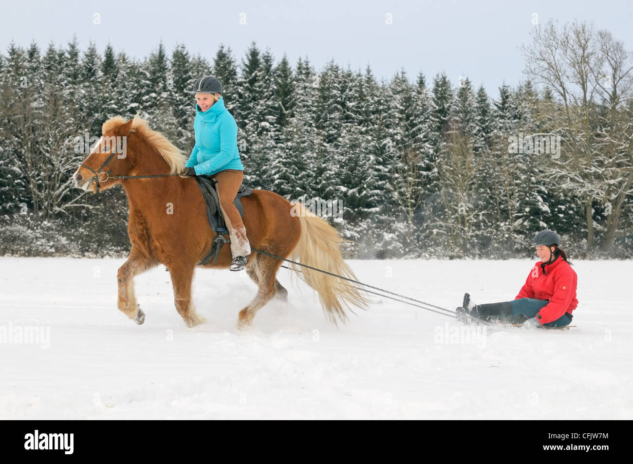 Having fun with pony in winter: Icelandic horse drawing a sleigh - Stock Image