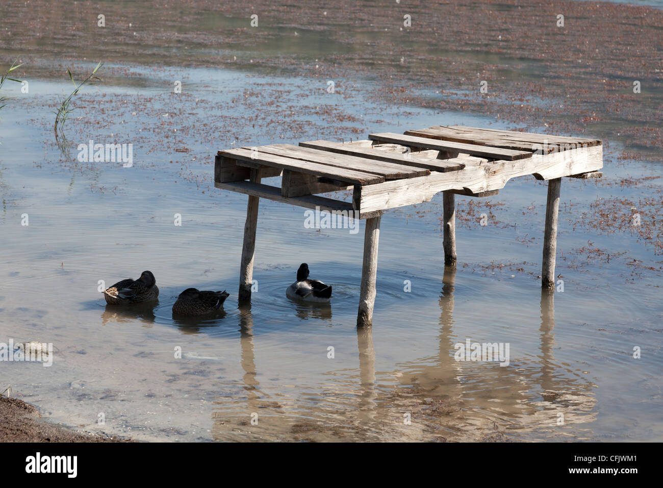 Ducks on lake sheltering from the sun in the shade of a broken pontoon - Stock Image