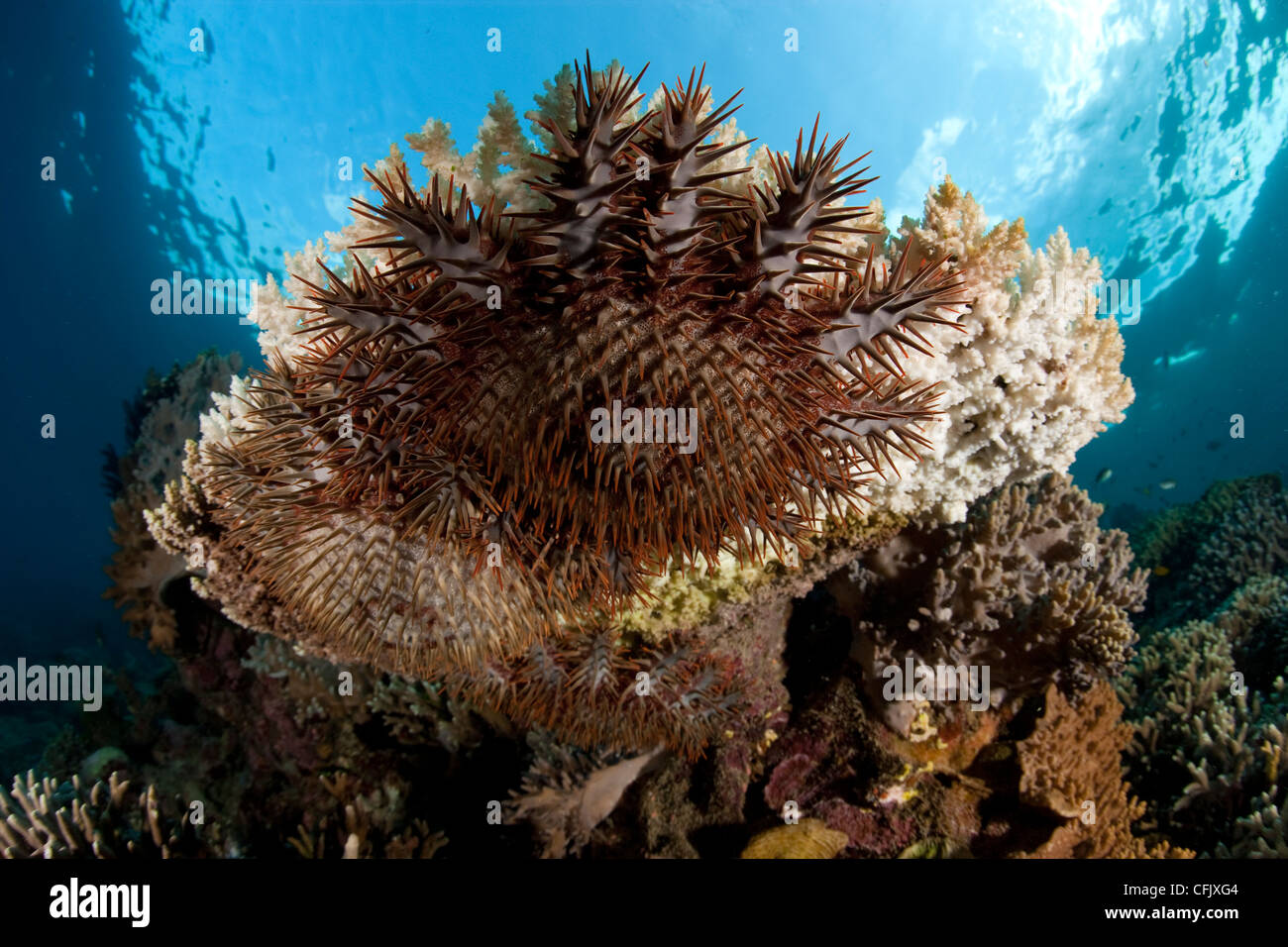Crown-of-Thorns feeding on coral, Garden Eels dive site, Menjangan Island, Bali Island, Indonesia, Pacific Ocean - Stock Image