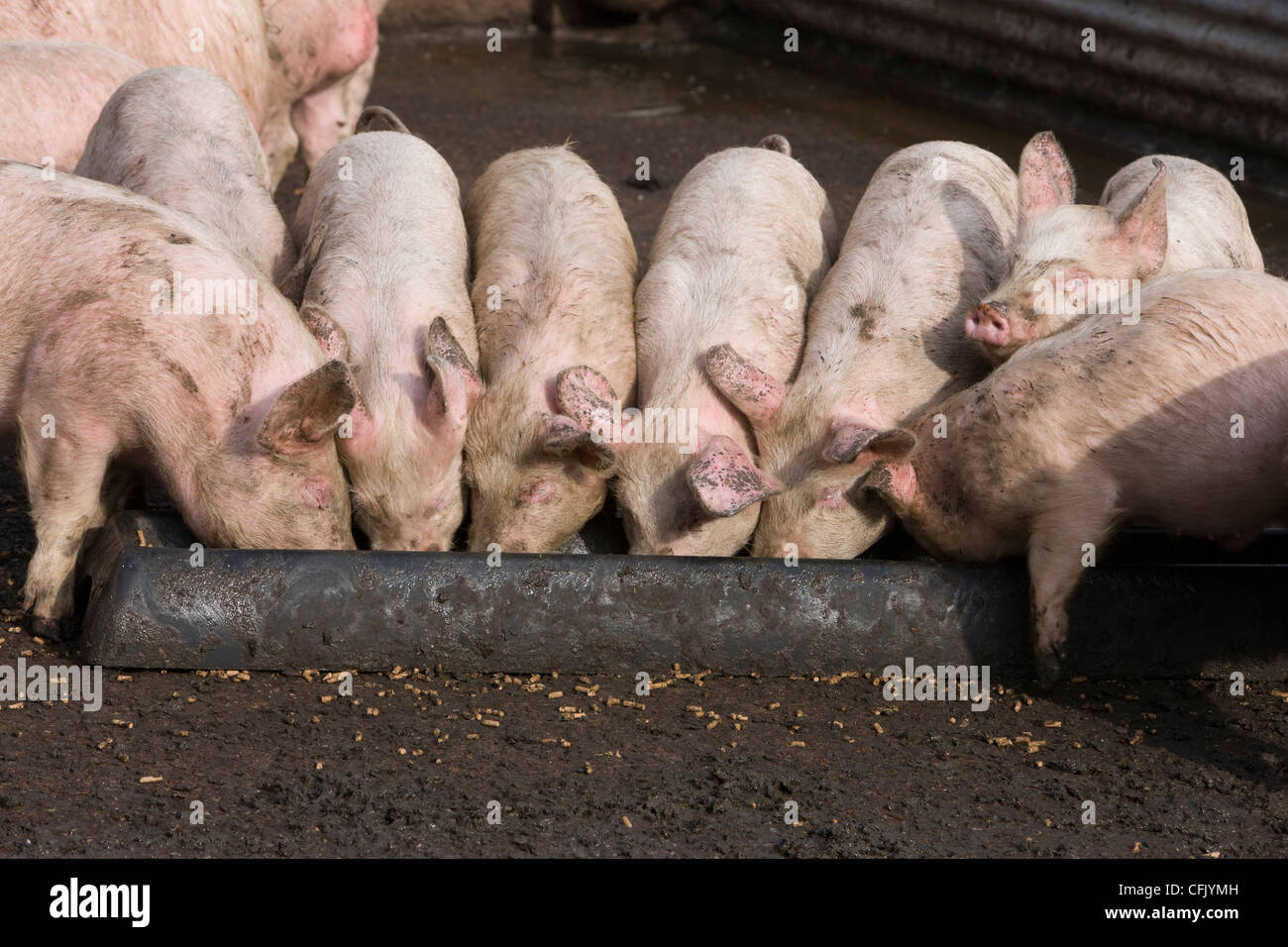 Pigs Eating Trough High Resolution Stock Photography and Images - Alamy