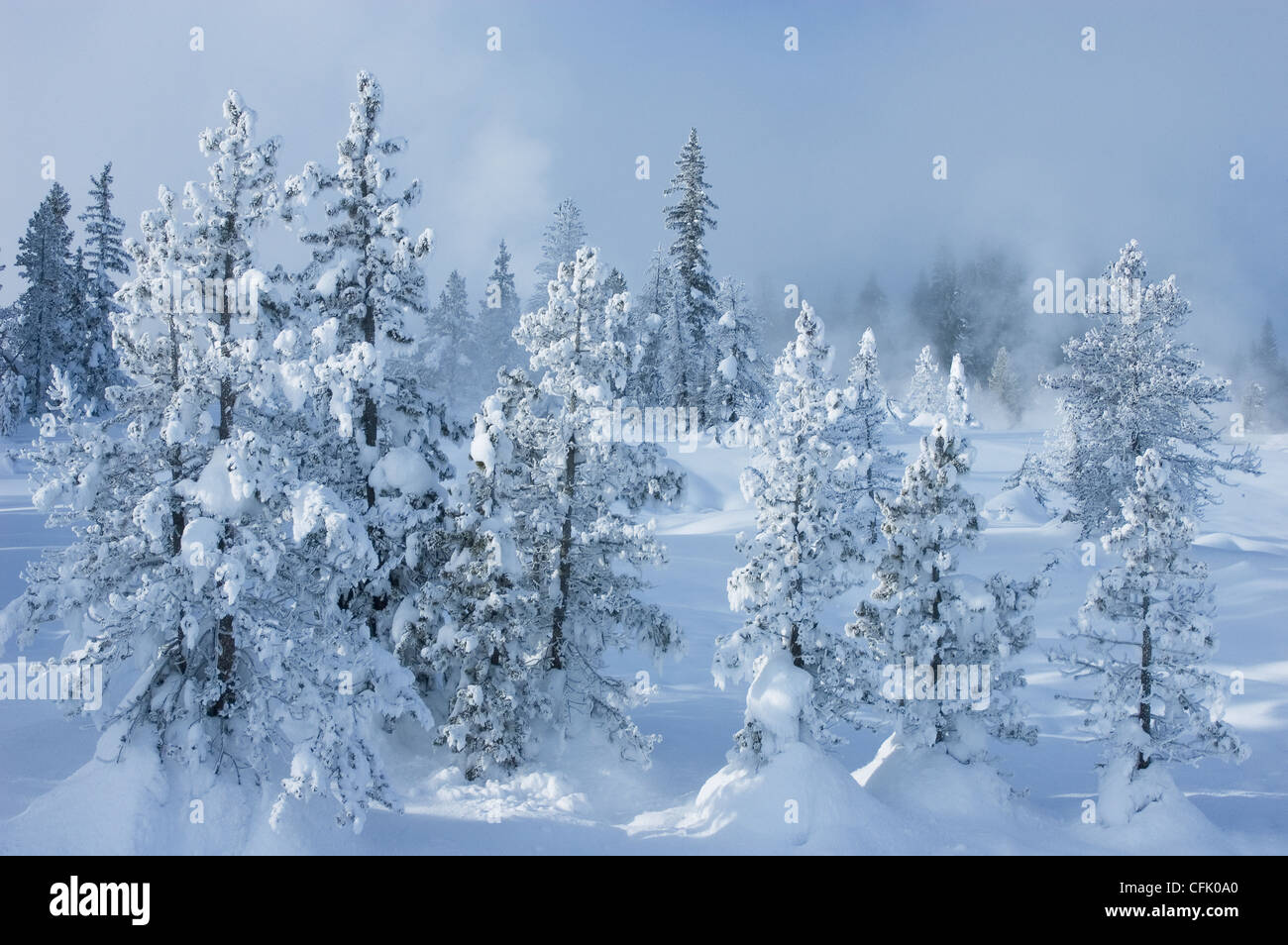 Snow and ice covered pine trees along trail at west thumb - Images of pine trees in snow ...