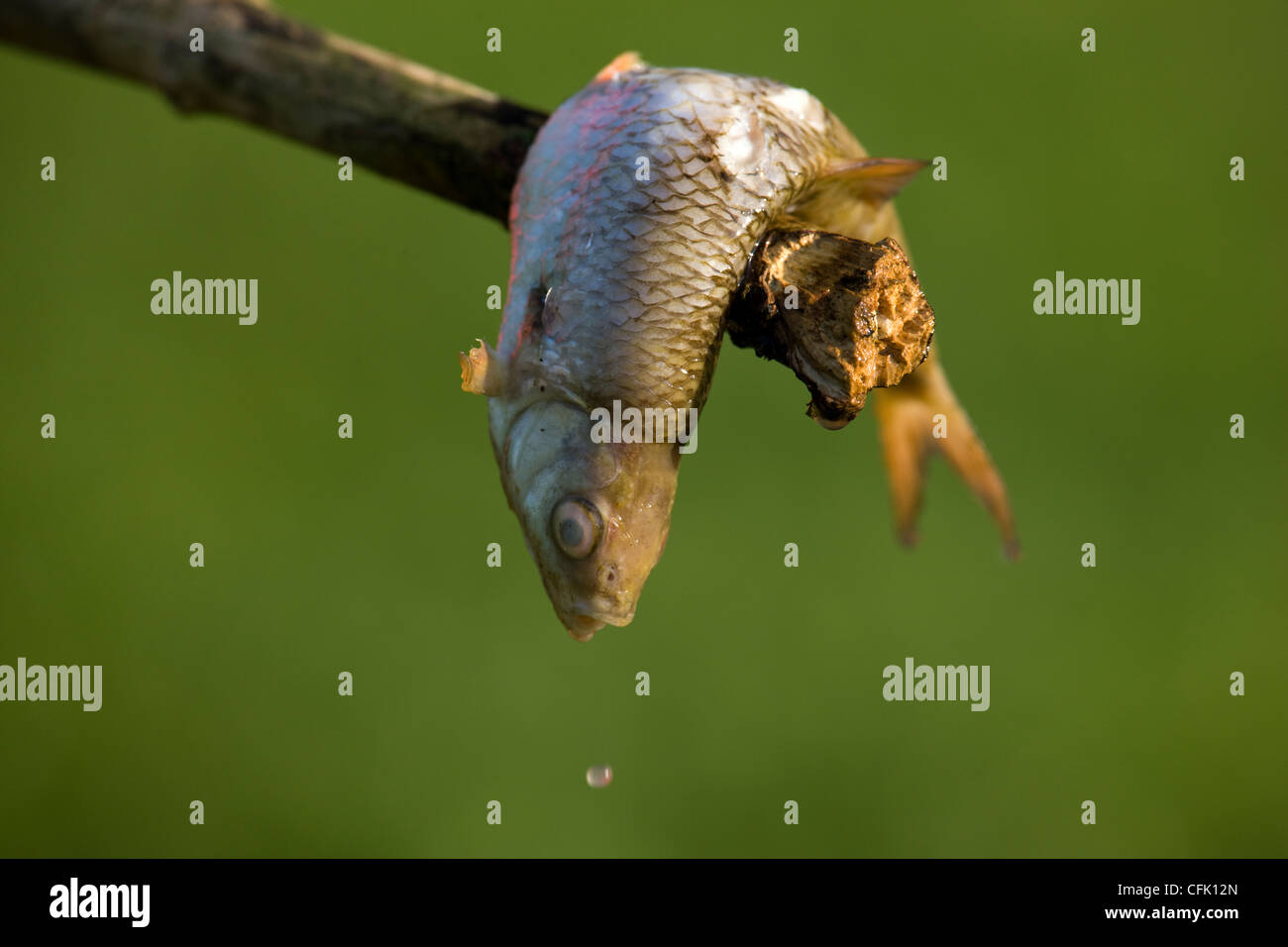 Dead fish, fished from a fishing lake, on the end of stick - Stock Image