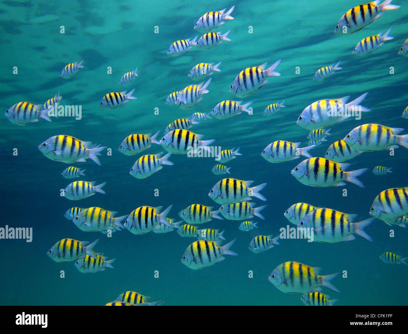 Sergeant-major fish school with water surface in background, underwater Caribbean sea - Stock Image