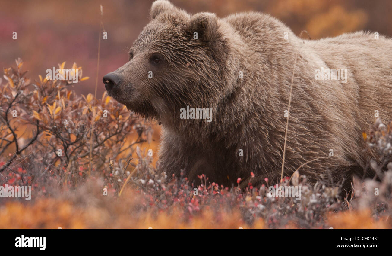 Gizzly Bear cub (Ursus arctos) forages among the autumn tundra of dwarf willow and dwarf birch, Denali National - Stock Image