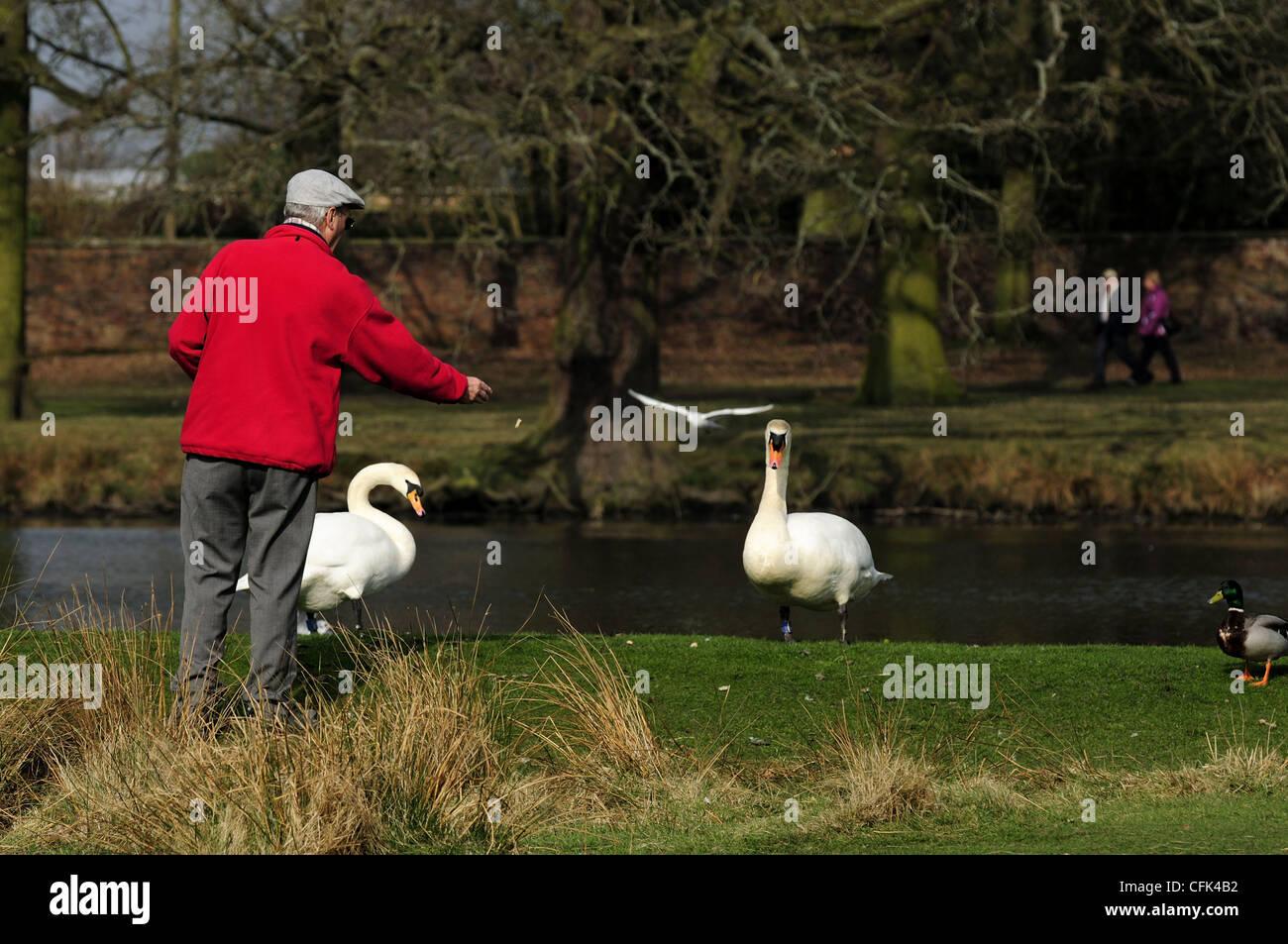 Man feeding mute swans at Dunham Massey - Stock Image