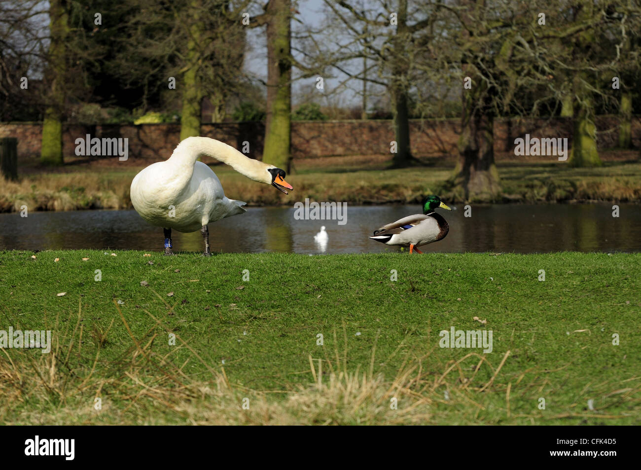 Mute swan at Dunham Massey hissing at male Mallard duck as it gets too close to scattered bread - Stock Image