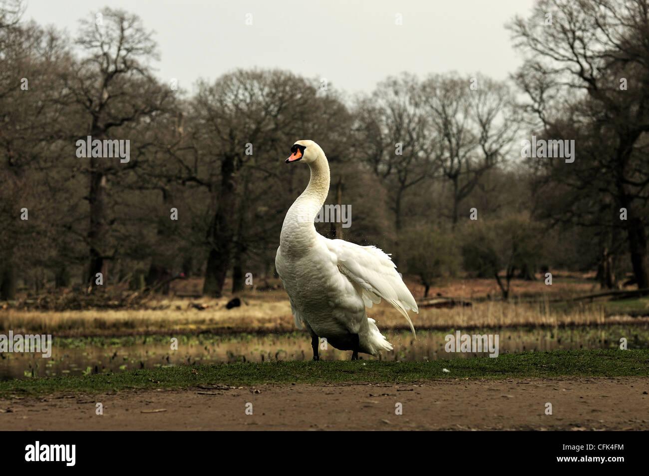 Mute swan at Dunham Massey shaking water off - Stock Image