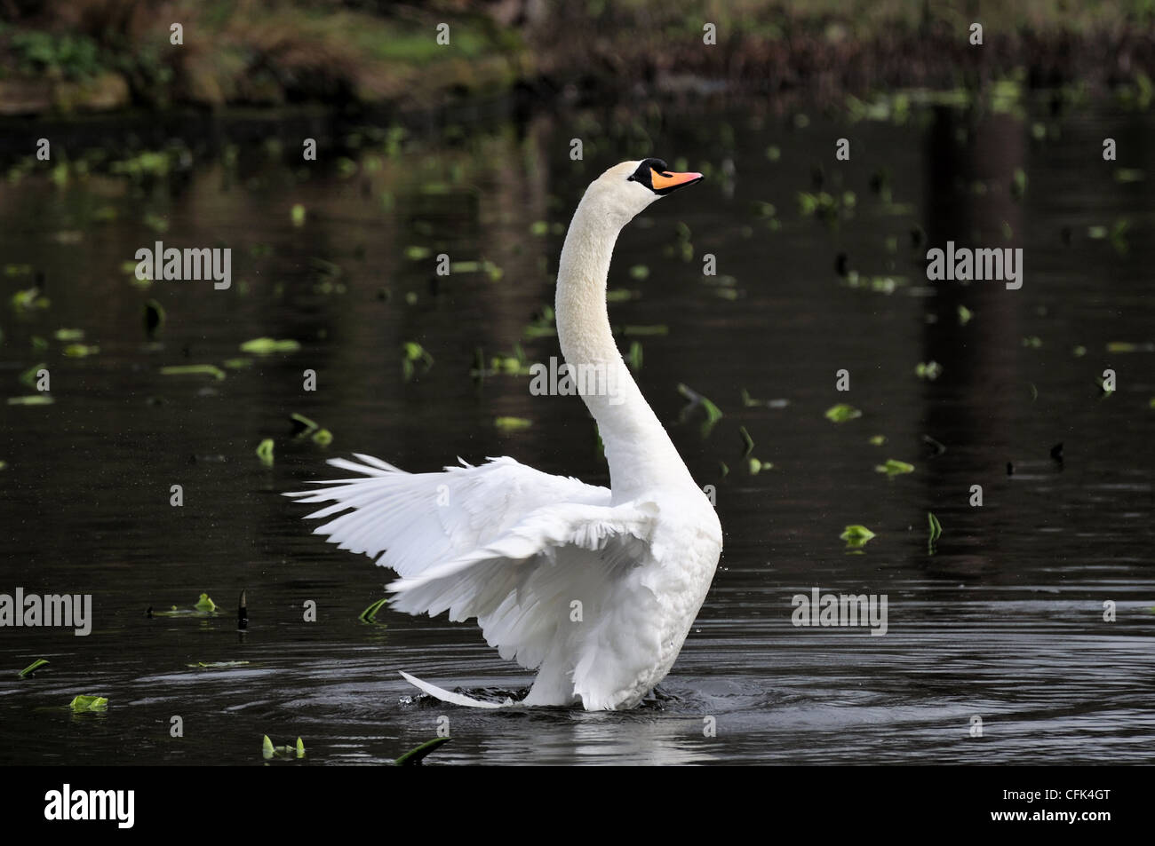 Mute swan with wings swept back at Dunham Massey - Stock Image