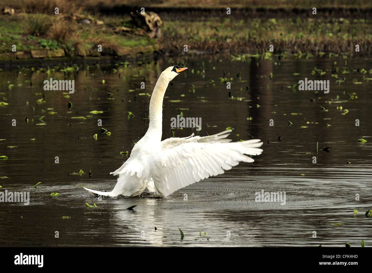 Mute swan with wings swept forward at Dunham Massey - Stock Image