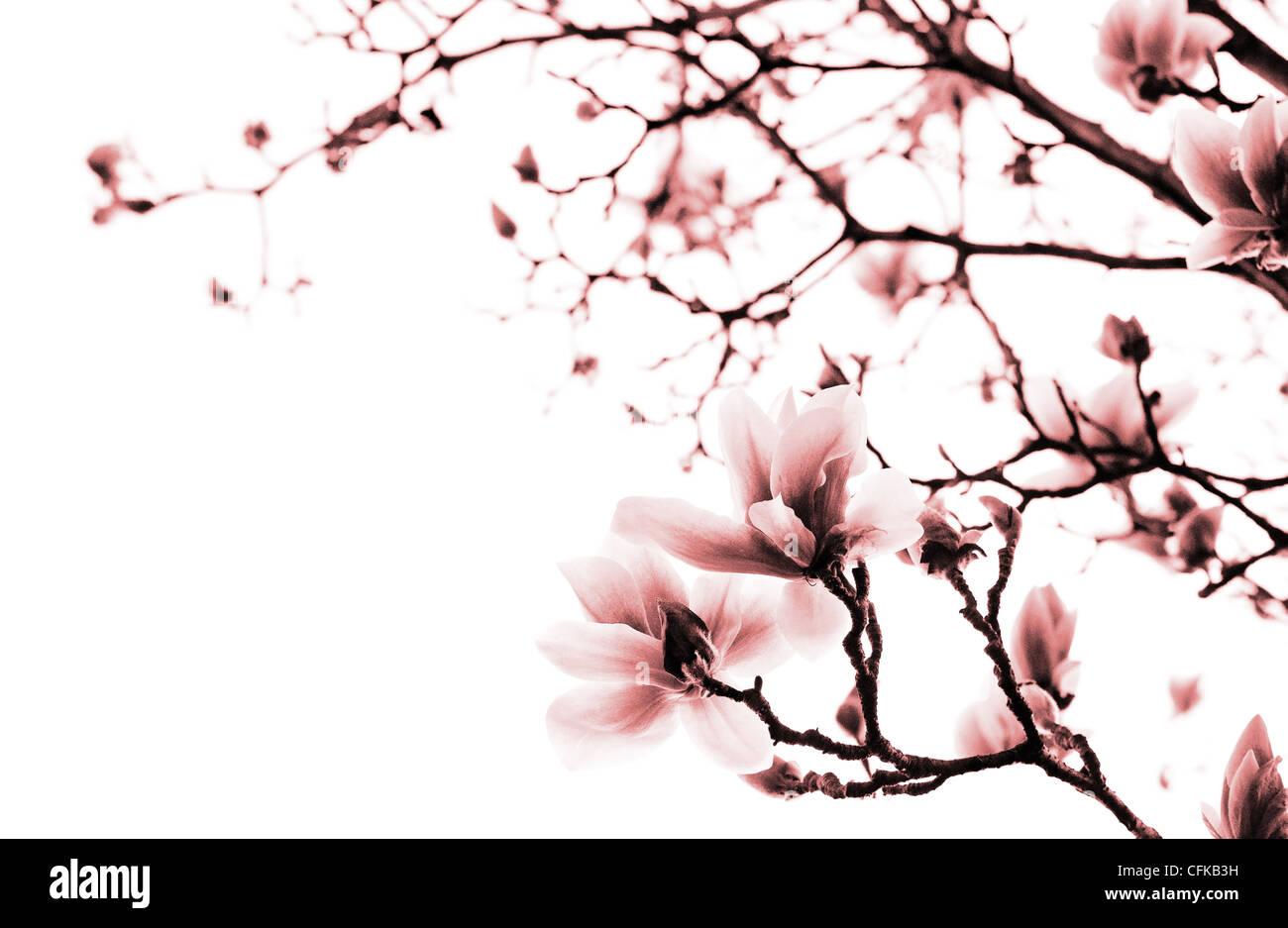 Magnolia branches - Monochromatic version - Stock Image
