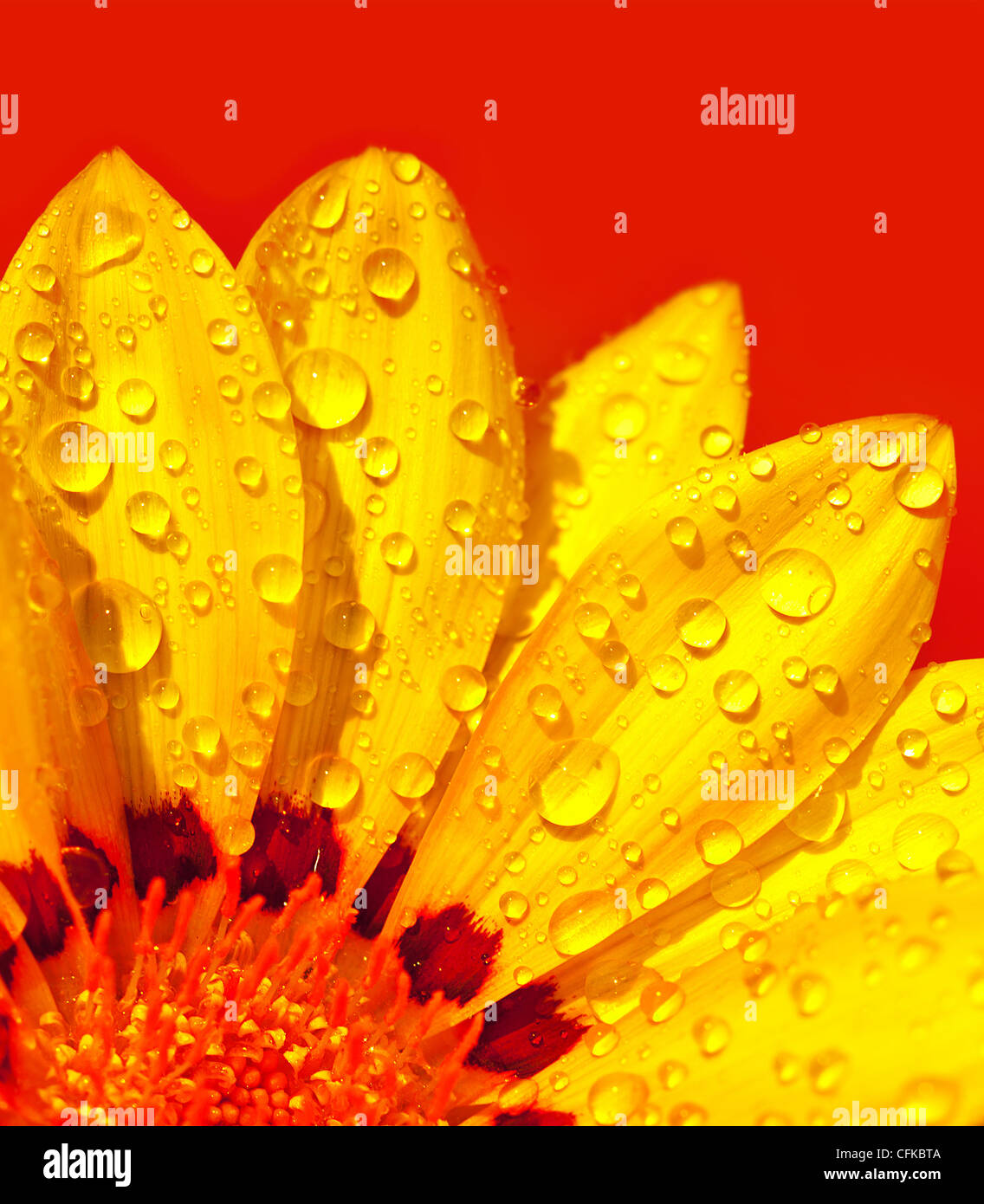 Abstract beautiful flower, colorful floral background , wet yellow petals border, daisy plant over red , nature - Stock Image